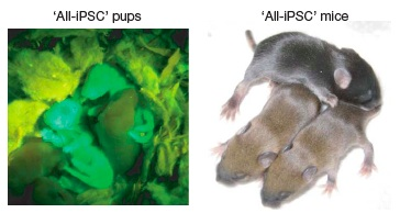First Mice Produced Entirely From Adult-Derived iPS