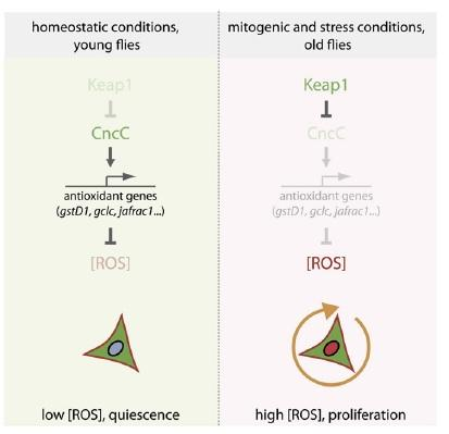 Nrf2, ROS, and the Regulation of Stem Cell Proliferation