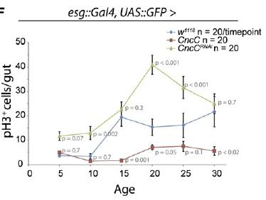 Elevating CncC Activity (and Nrf2) Delays Age-Related Rise in Uncontrolled Stem Cell Proliferation